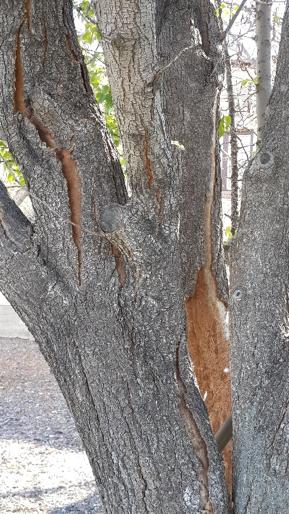 Aristocrat Pear tree bark