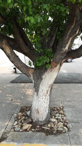 Hawthorne tree bark