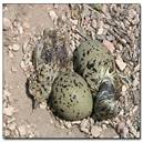 PICT Mountain Plover Eggs - MountainPloverFestival.co