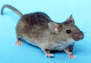 PICT - House Mouse - wikimedia