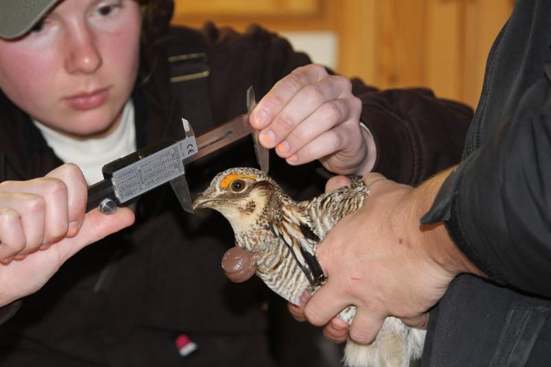 PICT Lesser Prairie Chicken measurement - CPW