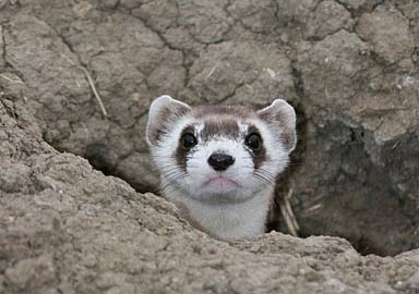 PICT - Black Footed Ferret - USFWS