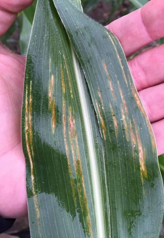 PICT Corn Bacterial Leaf Streek disease - Colorado Corn