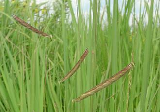 PICT - Plants - Blue Grama Grass - USFWS