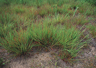 PICT - Plants - Little Bluestem Grass - NRCS