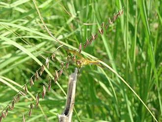 PICT - Plants - Sideoats Grama Grass - USFWS