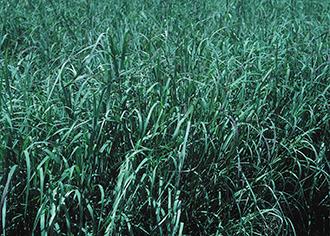 PICT - Plants - Switchgrass - NRCS