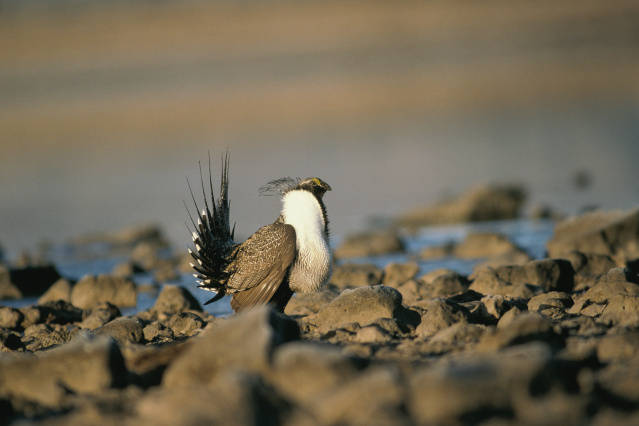 PICT - Greater Sage Grouse - USFWS