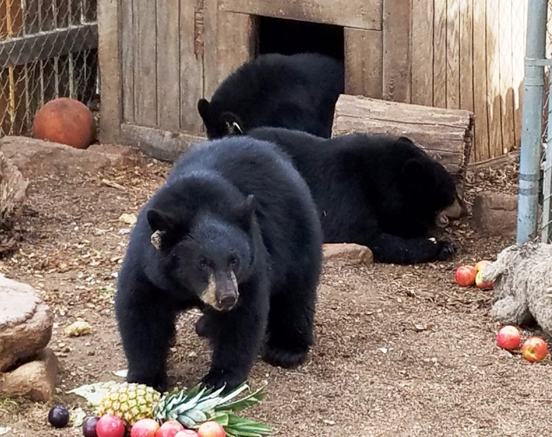 PICT Bears at Wet Mountain Wildlife Rehabilitation - CPW
