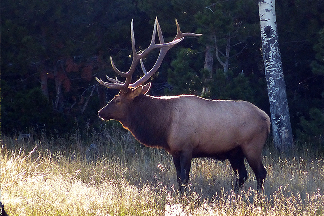 PICT Hunting Bull elk - CPW