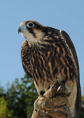PICT - Animal - Peregrine Falcon