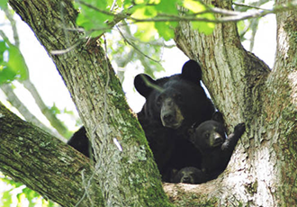 PICT Louisiana Black Bear - USFWS