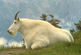 PICT Mountain Goat - USFWS