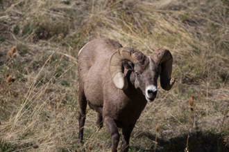 PICT Rocky Mountain Bighorn Sheet - USFWS