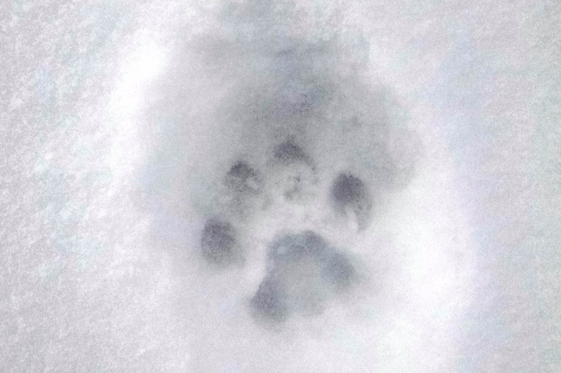 PICT Mountain Lion Paw Print - CPW
