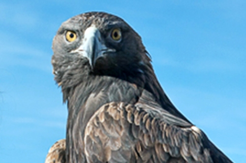 PICT Golden Eagle - CPW