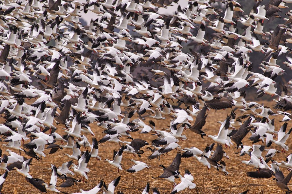 PICT - Snow Geese in Flight - Sharon Stiteler