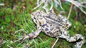 PICT Boreal Toad - CPW