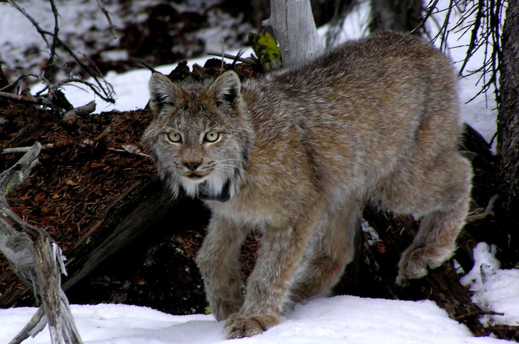 PICT Canada Lynx - CPW