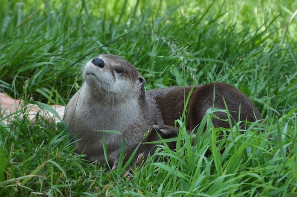 PICT River Otter - CPW