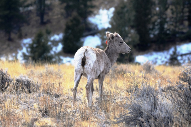 PICT Bighorn Lamb - CPW