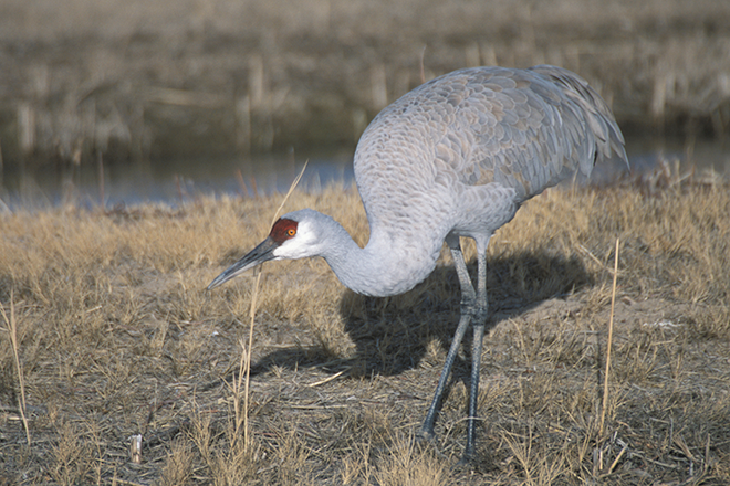 PICT Sandhill Crane Walking