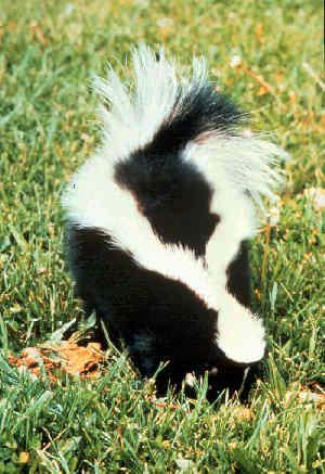 PICT Skunk - wikimedia