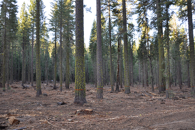 PICT Thinned Forest - Eric Knapp USFS