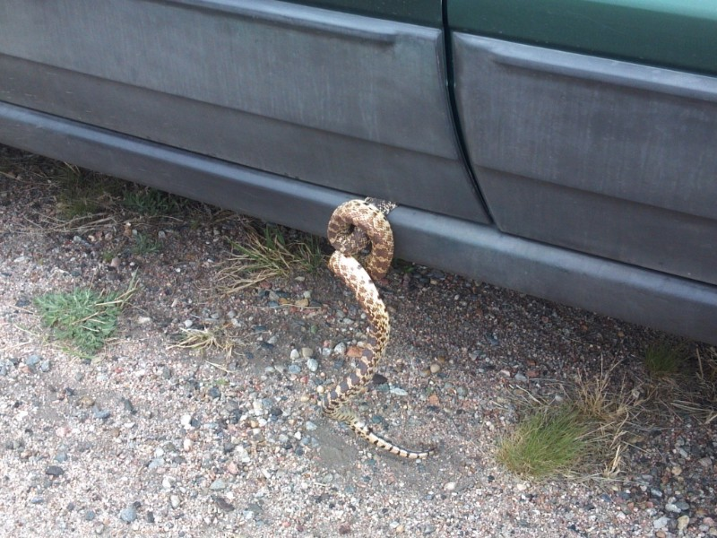 PICT Bull Snake in Car Door - CPW