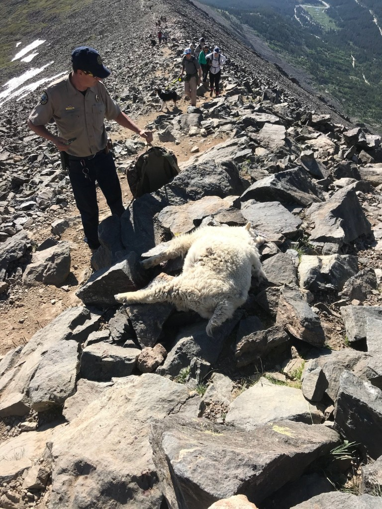 PICT Poached Mountain Goat - CPW