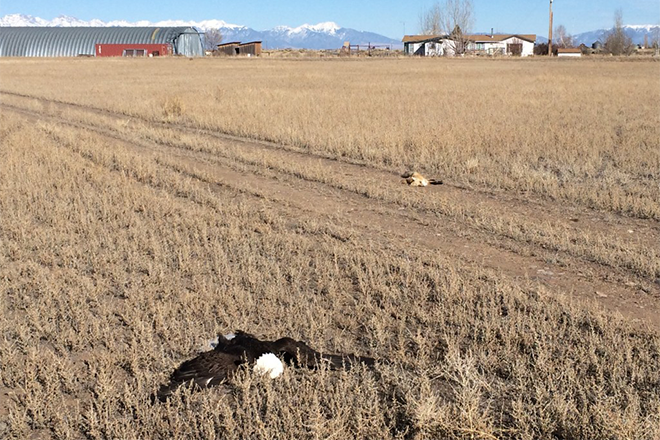 PICT Dead Eagle and Fox in Field - CPW
