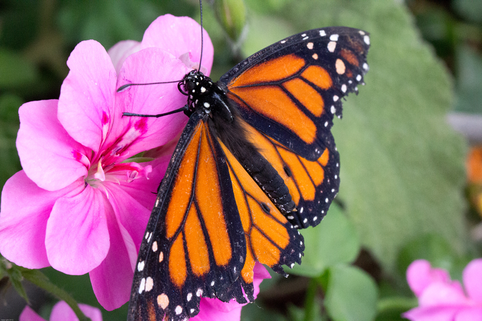 PICT Monarch Butterfly - EarthTalk