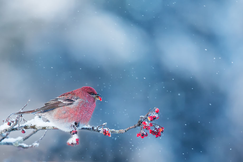 PICT Bird in Winter - Juha Saastamoinen / Adobe Stock