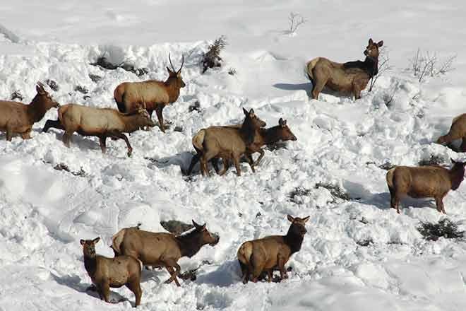 Elk herd - CPW