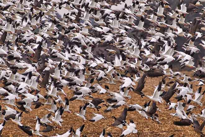 PICT Snow Geese in Flight - CPW