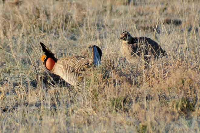 PICT 64J1 Male Female Lesser Prairie Chickens - CPW