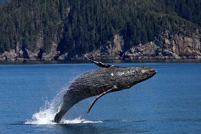 PICT Grey Whale - EarthTalk