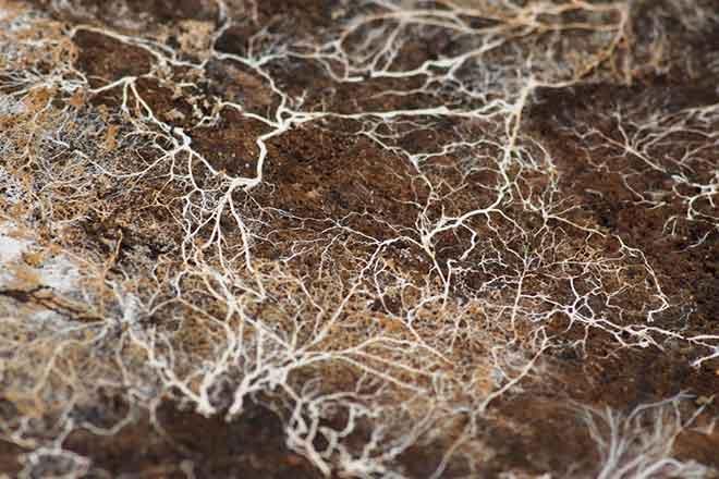 PICT 64J1 EarthTalk mycelium - FlickrCC - Kirill Ignatyev