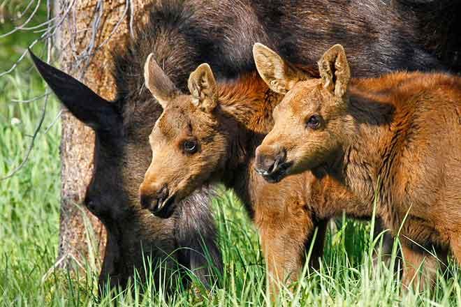 PICT Moose - CPW - Vic Schendel
