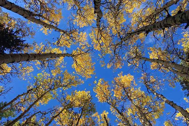 PICT 64J1 EarthTalk Aspen trees - FlickrCC - John Fowler