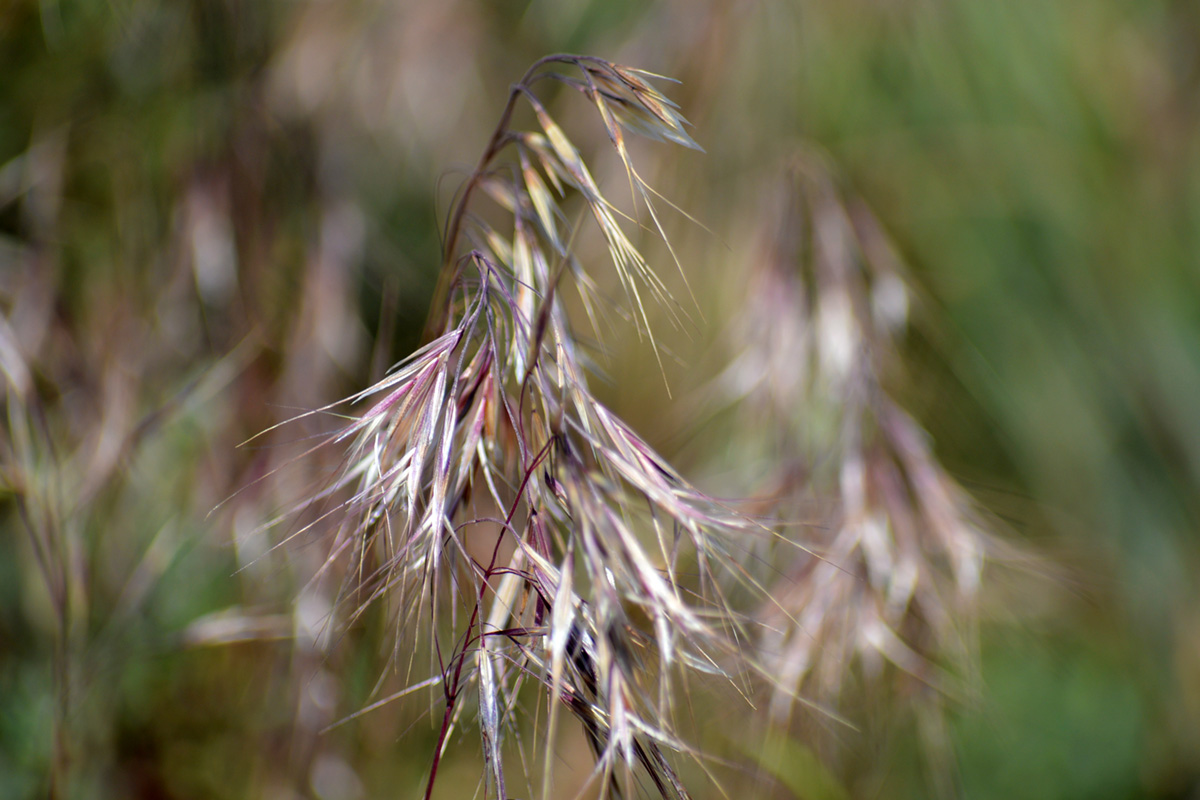 PICT EarthTalk - cheatgrass - FlickrCC USFWS
