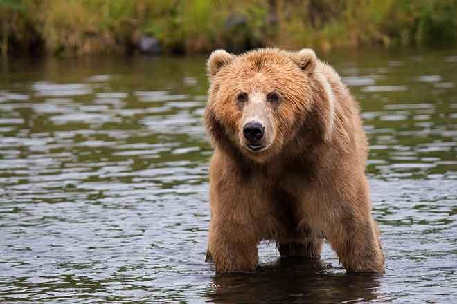 PICT 64J1 Grizzly Bear - Pixabay