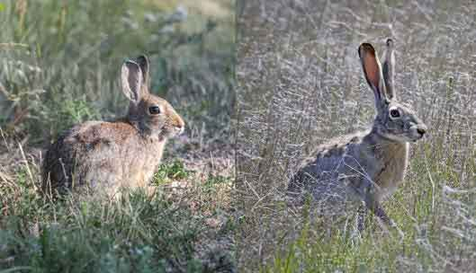 PICT Rabbit Hemorrhagic Disease Virus Type 2 affects cottontail rabbits and jackrabbits