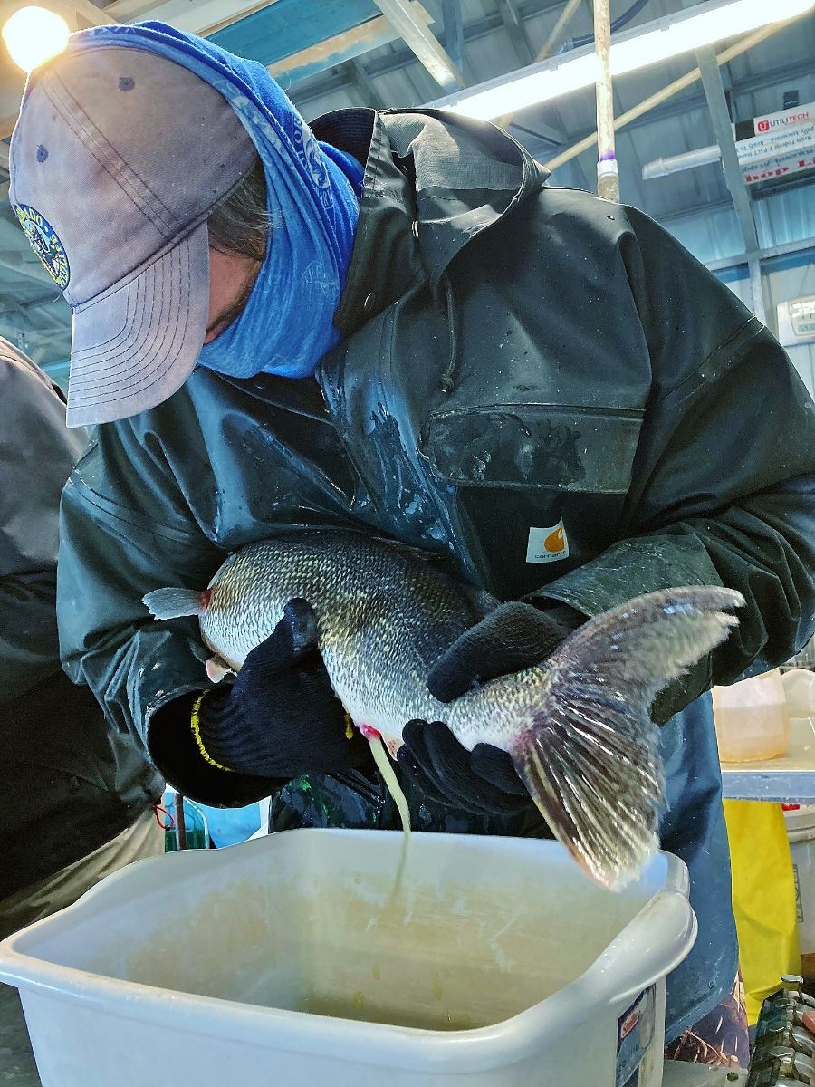 PICT Harvesting walleye eggs - CPW