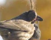 PICT Sick bird with finch conjuntivitis - CPW