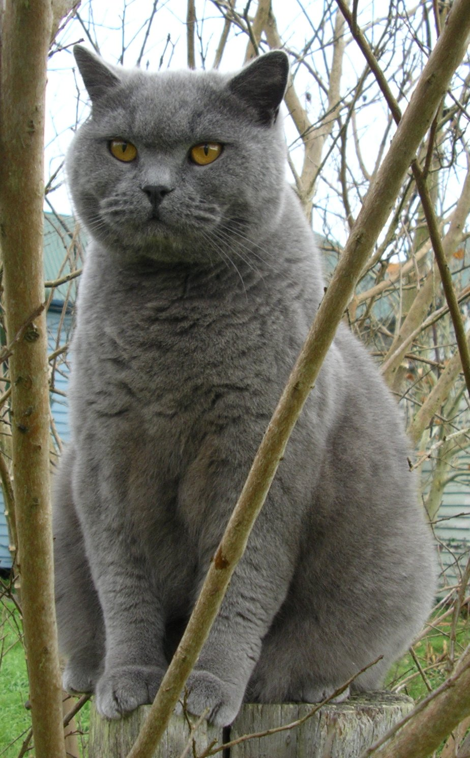 PICT Cat - British Blue