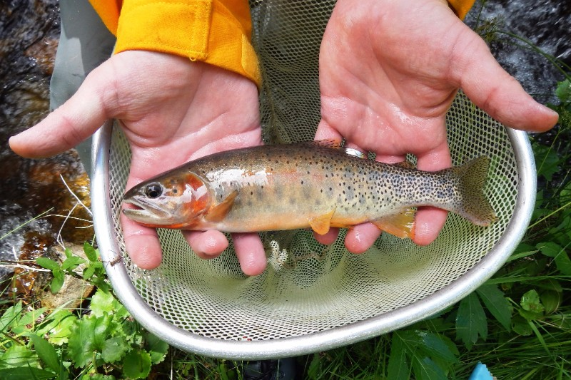 PICT Hayden Creek Trout - CPW