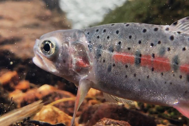 PICT Greenback Cutthroat Trout - CPW