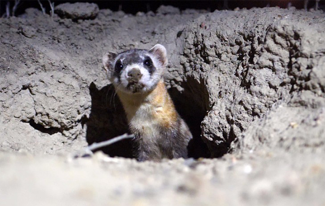 PICT - Black Footed Ferret - CPW