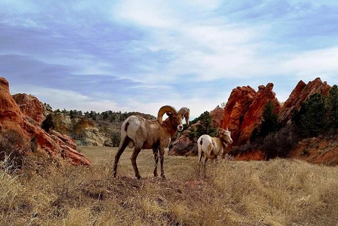 PICT Bighorn Sheep - CPW